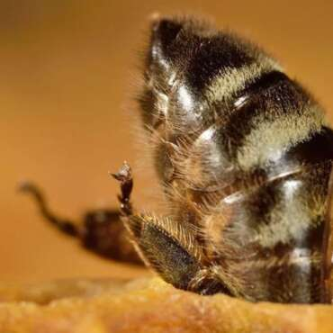 Vaccination Programmes Carried out by Honeybees